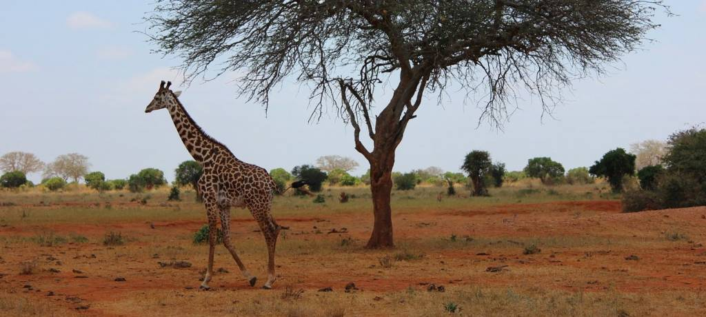 Adult giraffe walking by a single acacia tree.