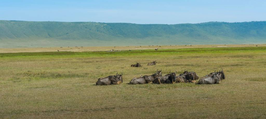 A group of wildebeest lying on the grasslands.