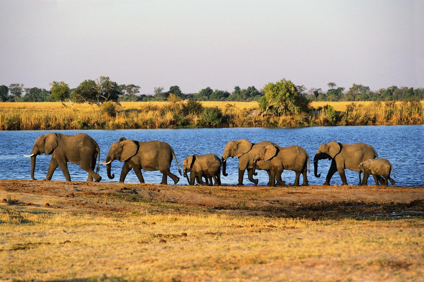 Comb Ducks on Lake, Savute Chobe National Park, Botswana бесплатно