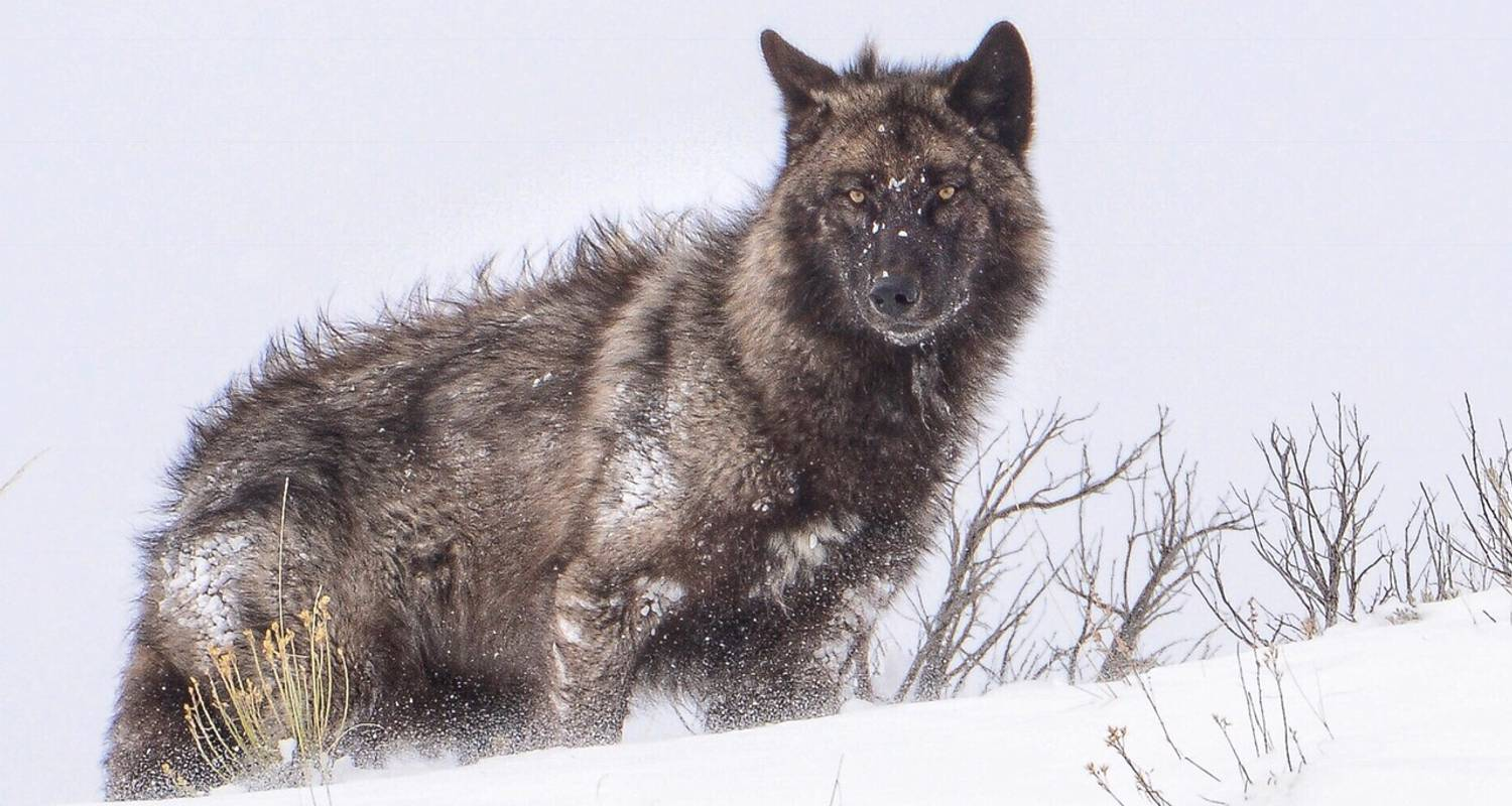 5 Day / 4 Night Yellowstone Winter Wolf Tour - BrushBuck Wildlife Tours