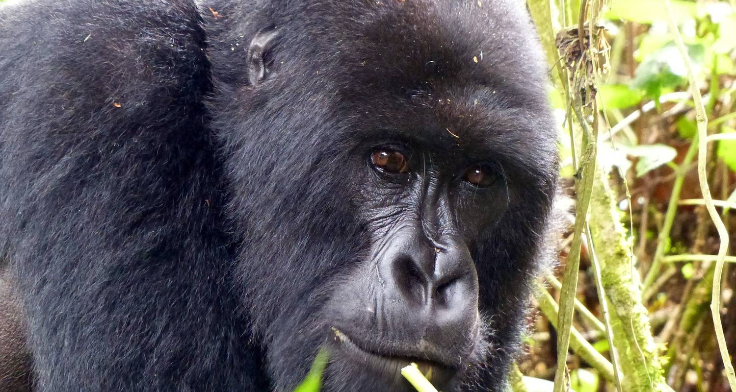3 Days Gorilla Trekking- Bwindi Impenetrable Forest - Oasis Safaris Limited