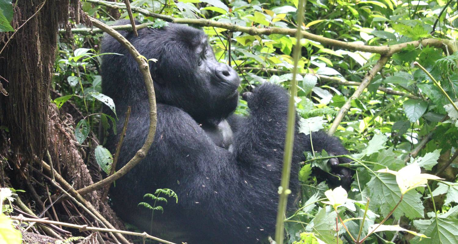 3 Days Gorilla Uganda - Enchanted Uganda Safaris Ltd