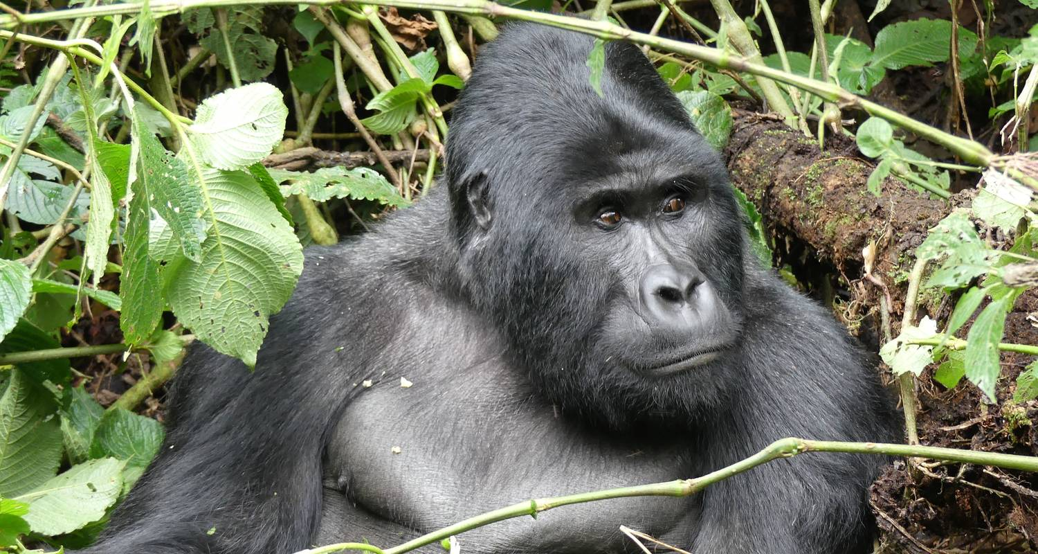 10 days Experience Uganda's Exclusive Gorillas and Wildlife - Mukisa Safaris Uganda