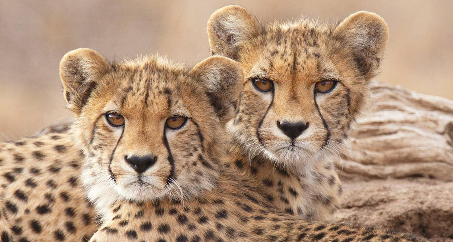 "Gnus-Migration und Fotosafari ""Big Cats"" ~ 13 Tage - Expect In Africa Safari"