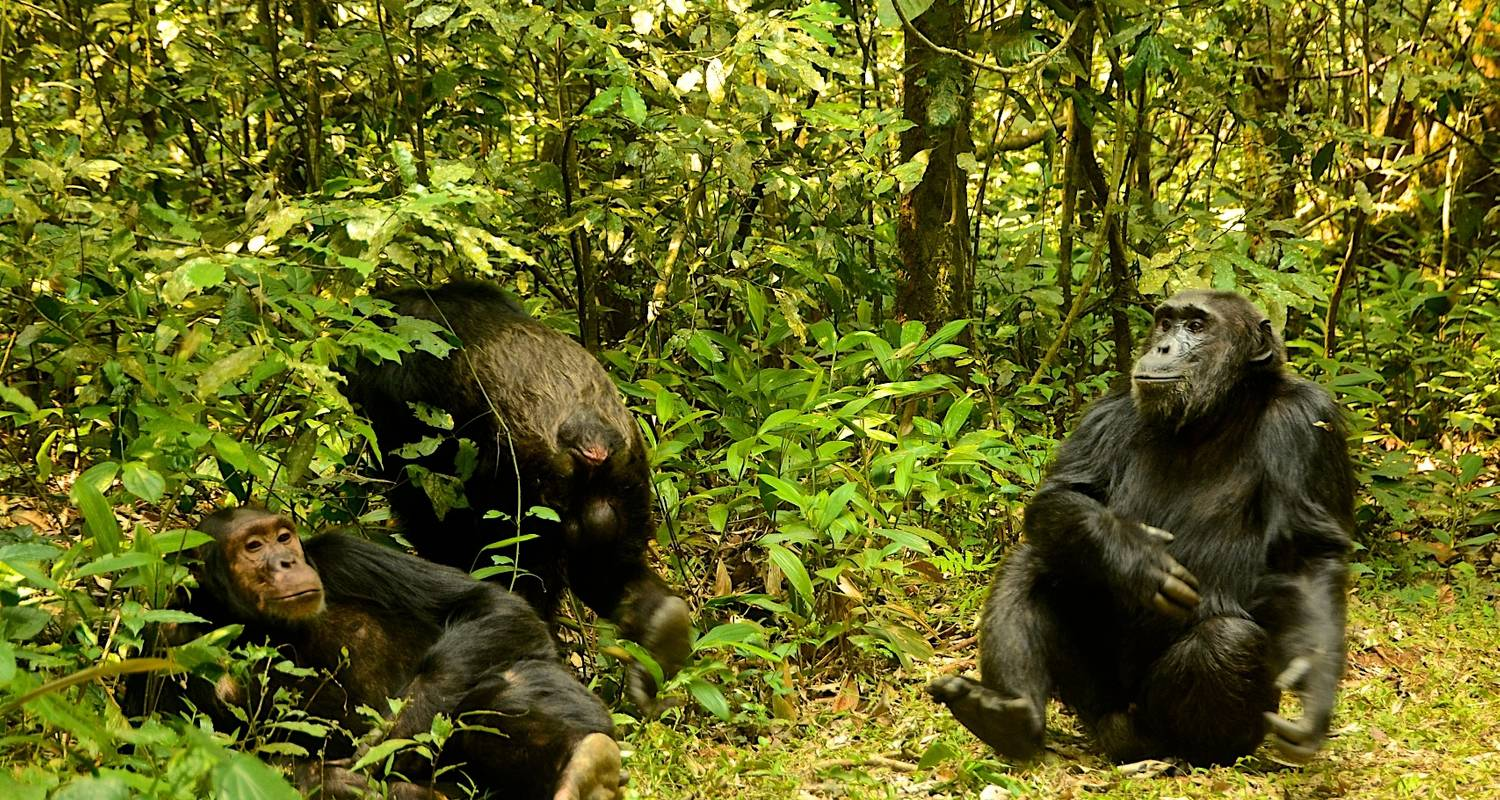 3 Days Chimpanzee trekking in Nyungwe Forest, Canopy walk & Kivu Lake experience - Ubuntu Voyages