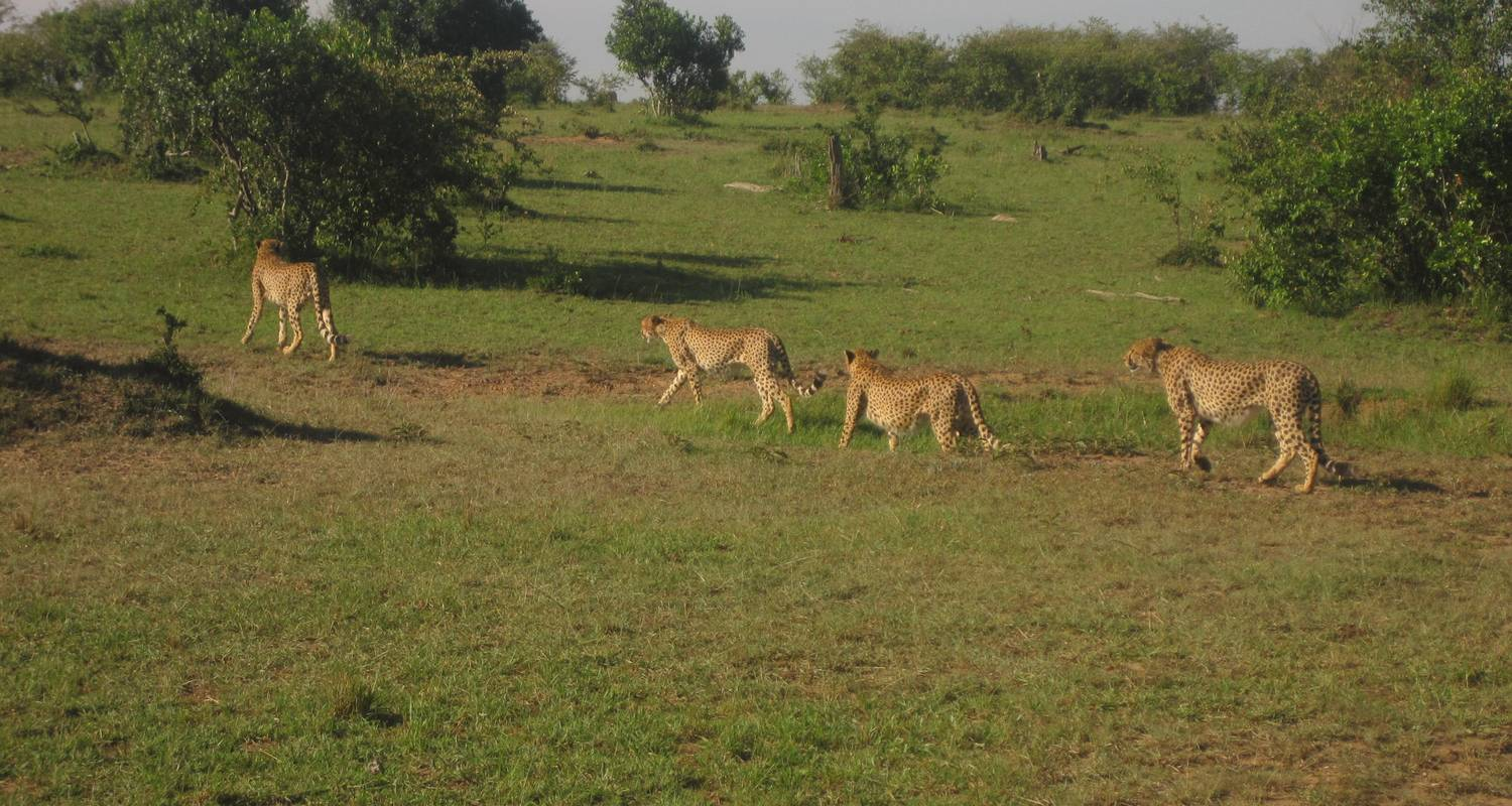 20 Days Masai Mara – Serengeti – Ngorongoro & Uganda Gorilla Safari - Primate World Safaris (U) Ltd