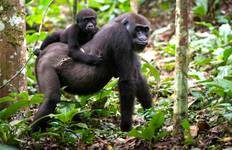 10 Day Chimp Tracking, Wildlife And Gorilla Trekking Safari In Uganda Tour