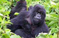 Magic of the Mountain Gorilla Tour