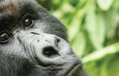 Gorillas & Game Parks Tour