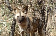 Wild Dogs and Victoria Falls Tour