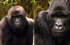 Mountain Gorillas of Rwanda Tour