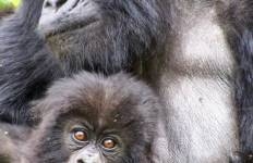 Mountain Gorillas of Rwanda Experience - Independent Tour