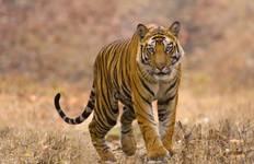 Bandhavgarh Tiger Experience 4D/3N Tour