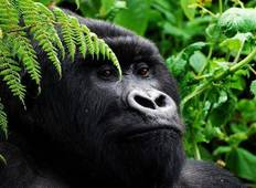 3 Day Budget Gorilla Trekking Safari Tour