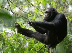 5 Day Chimpanzee Tracking And Gorilla Tracking Safari Tour