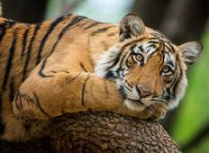 India – Tiger Volunteer Adventure Tour