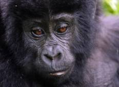 Gorillas & Masai Mara - Accommodated Reverse Tour