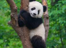 China – Panda Conservation Adventure Tour