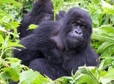 Troop to the Gorillas Accommodated 9 Days Tour