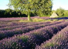 Lavender in bloom in the South of France Tour