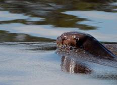 Giant Otters in Tambopata Tour