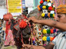 Camels on Sale  - The Pushkar Fair Tour Tour