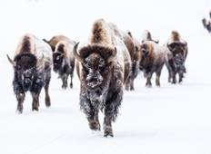 4 Day / 3 Night Grand Teton & Yellowstone Winter Tour Tour