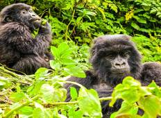 Gorilla Trek In Uganda Tour