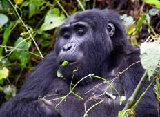 7 Day Gorillas, Wildlife and Chimps Tour