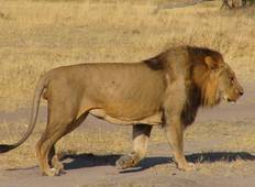 Lion Safari Tour
