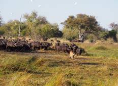 Buffalo Safari Tour