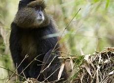 3-Day Gorillas and Golden Monkey Trek Tour