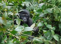 8-Day Gorilla Safari and Chimpanzee Habituation Experience at Kibale Forest Tour