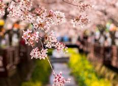 Walking Through Cherry Blossoms Tour