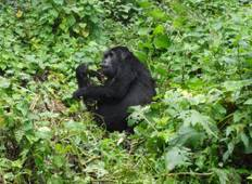 Gorilla Habituation Experience in Bwindi National Park from  Kigali, Rwanda Tour