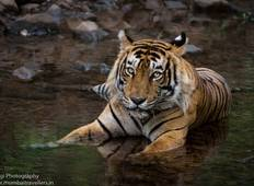 Tigers of the Fort: Royal Ranthambore Tour
