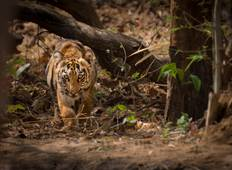 Royal Bengal Tigers of Tadoba  Tour