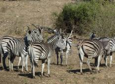 Zebra Safari in Botswana Rundreise
