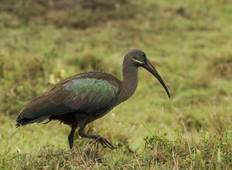 12 Days Birding Tour to Uganda Tour