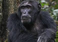 Gorilla and Chimp Tracking Safari Tour