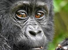 Mountain Gorilla Trekking Uganda Safari Tour