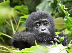 Mountain Gorillas and Chimpanzee Safari Uganda Tour