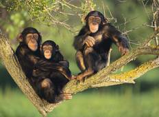 Chimp Tracking in Kibale Safari Tour