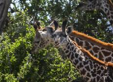 3 Days Gerenuk Safari   Tour