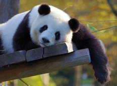 Pandas, History, Nature & Modern China Tour