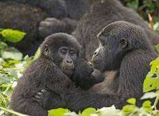 3 days Gorilla safari in Uganda – Gorilla tours Tour
