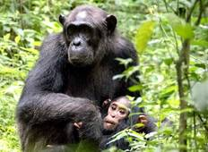 12-Day Affordable Safari-Gorilla and Primate Track Uganda Tour