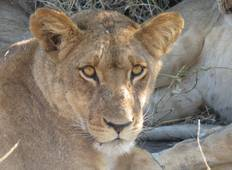 9 Days Lion Safari Tour