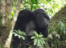 Bwindi  Gorilla Safari in Uganda (3 days) Tour