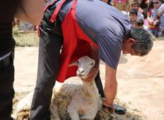 Sheep-shearing festival Tour